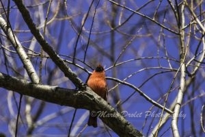 Colour photo of a male cardinal perched on a branch