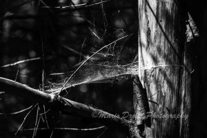 Black and White photo of a spider web in a tree