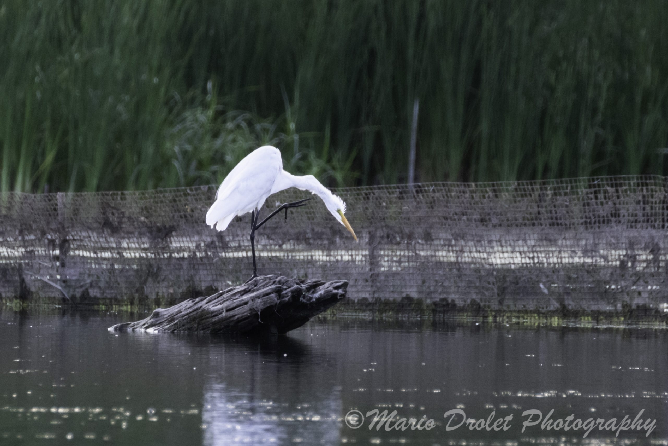 Great egret perched on driftwood