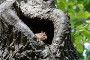 Chipmunk peeling out of a tree