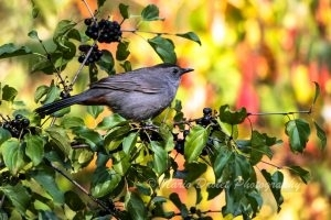 Gray Catbird perch in a tree eating berries
