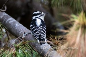 Downy woodpecker perched in a pine tree