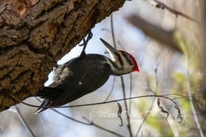Pileated Woodpecker on a branch
