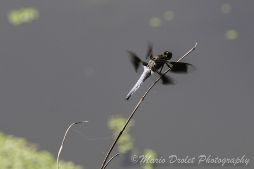 Common Whitetail Skimmer on a twig over marsh water