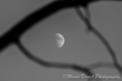 The moon framed by tree branches in black and white
