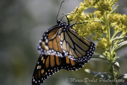 Colour photo of a monarch butterfly on a flower