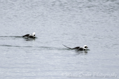 Colour photo of 2 long-tailed ducks on a lake