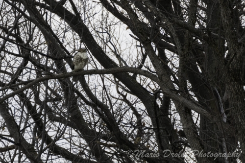 Colour photo of a red-tailed hawk on a branch