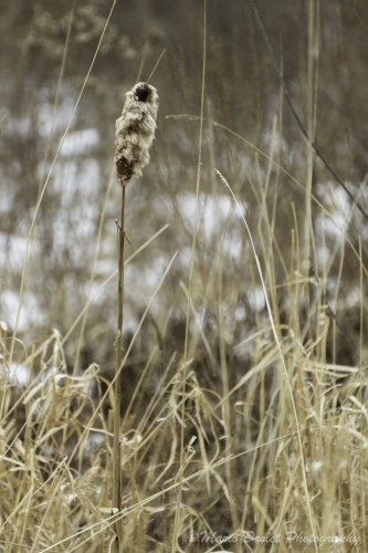 Colour photo of a bulrush in the winter