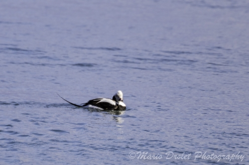 Colour photo of a long-tailed duck