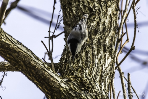 Colour photo of a white-breasted nuthatch woodpecker on a tree