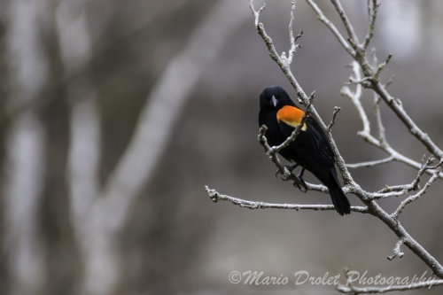 Colour photo of a red-winged blackbird perched on a branch