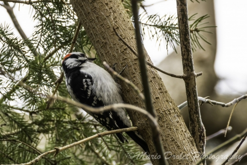 Colour photo of a downy woodpecker perched on a tree