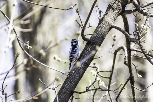 Colour photo of a hairy woodpecker perched on a tree