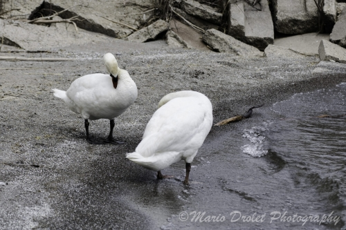 A couple of swans on the shores of a lake